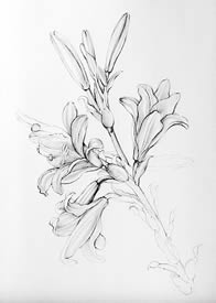 Leonardos Lillies - Drawings Pen and Ink on Paper